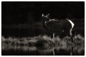 """Mountain Elk""- 12x18"" $2450"